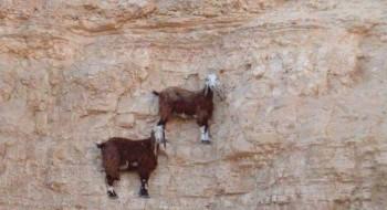 """""""Lan sen oraya nasıl çıktın?"""" diyeceğiniz 14 Dağ Keçisi"""